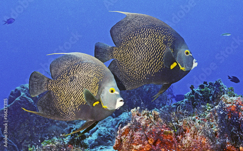 Photo Pair ofFrench Angel Fish
