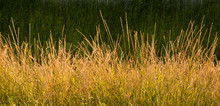 Gold Wild Grass Background