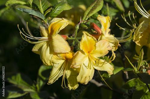 Fotomagnes Azalia z żółtymi kwiatami.