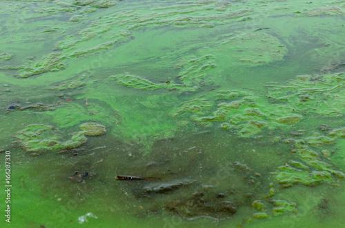 Valokuva  Green algae pollution on a water surface