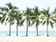 Palm coconut tree