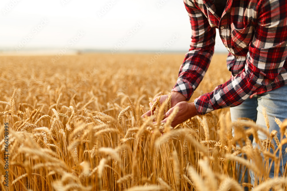 Fototapety, obrazy: Smiling man holding ears of wheat on a background a wheat field. Happy agronomist farmer cares about his crop for the rich harvest on sunset