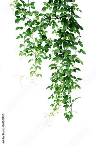 Poster Wild climbing vine, Cayratia trifolia (Linn