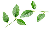 Lime Leaf On A White Background.