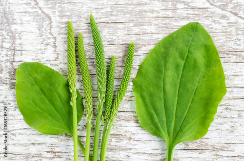 Photo Fresh greater plantain (psyllium) leaves and spikes flowers on the white shabby wooden background