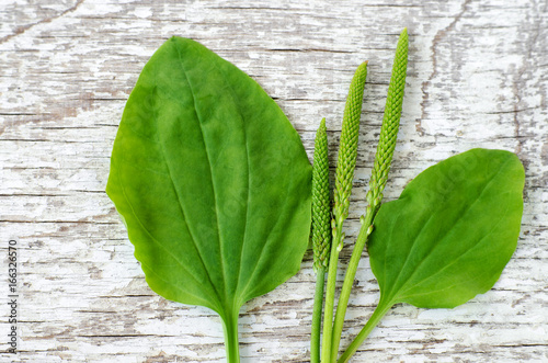 Fresh greater plantain (psyllium) leaves and spikes flowers on the white shabby wooden background Canvas Print