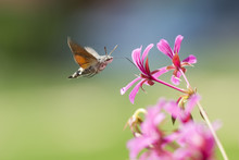 Hummingbird Hawk-moth Macroglossum Stellatarum Feeding On Pink Flowers