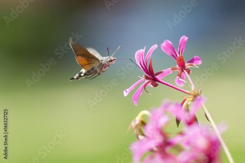 Fotografie, Obraz  hummingbird hawk-moth Macroglossum stellatarum feeding on pink flowers