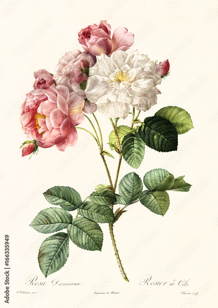 Fototapeta Old illustration of Rosa damascena. Created by P. R. Redoute, published on Les Roses, Imp. Firmin Didot, Paris, 1817-24