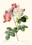 Old illustration of Rosa damascena. Created by P. R. Redoute, published on Les Roses, Imp. Firmin Didot, Paris, 1817-24 - 166335949