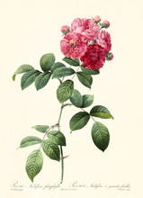 Old Illustration Of Rosa Multiflora Platyphylla. Created By P. R. Redoute, Published On Les Roses, Imp. Firmin Didot, Paris, 1817-24
