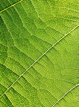 Grape Leaves Texture Leaf Background Macro Green Light Closeup