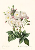 Old illustration of Rosa noisettiana. Created by P. R. Redoute, published on Les Roses, Imp. Firmin Didot, Paris, 1817-24 - 166342734