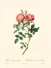 Old Illustration Of Rosa Rubiginosa Zabeth. Created By P. R. Redoute, Published On Les Roses, Imp. Firmin Didot, Paris, 1817-24