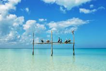 Pelicans At Isla Holbox