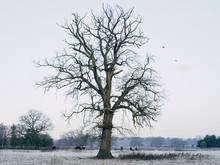 Horses And Tree On A Frosty Winter Morning.