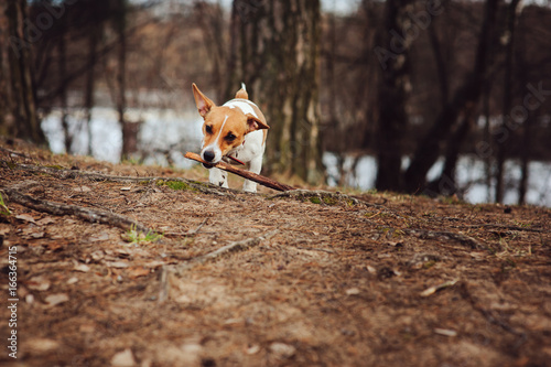Fotografie, Obraz  happy funny jack russel terrier dog walking and playing with stick in autumn for