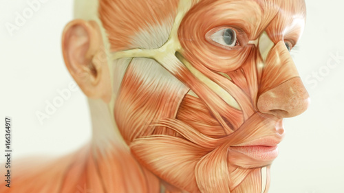 Foto Anatomy of human body, muscles- 3D Rendering