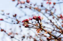 Winter Daphne Blossom.