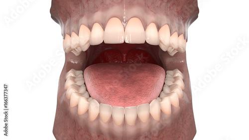 Dental Anatomy Maxillary And Mandibular Arch With Gum Structure