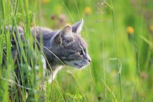 Cute Striped Cat Hunts Among T...