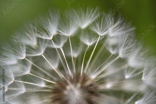 Tuinposter Paardebloem Dandelion seeds macro