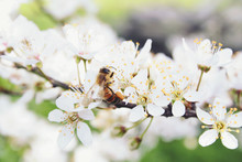 Close-up Of Bee On Plum Tree F...