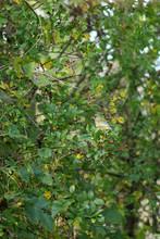 Greenfinch Eating Hawthorn Ber...