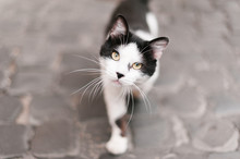 Cat Standing On A Cobblestone Street In Italy And Looking At The Camera