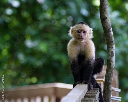 white-headed capuchin - Cebus capucinus Tablou Canvas