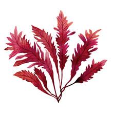 Red Seaweed,kelp, Algae In The...