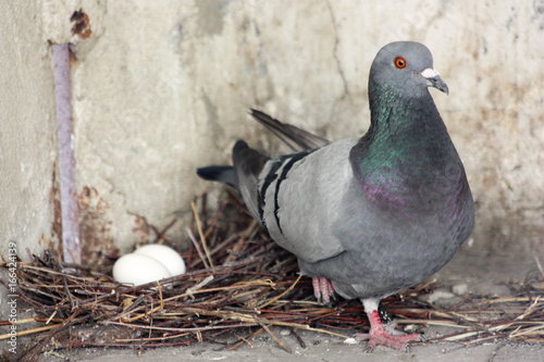 The pigeon guards its eggs