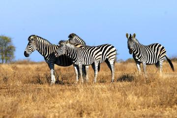 Fototapeta na wymiar Animal zebra in the wild, landscape.