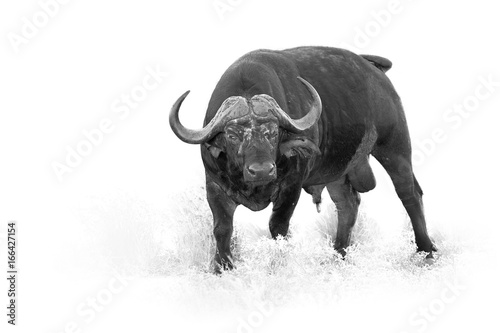 Keuken foto achterwand Buffel African buffalo, Syncerus caffer, dangerous male isolated on white background with touch of environment, artistic black and white photo. Leopard Mountains, Hluhluwe, KwaZulu-Natal, South Africa.