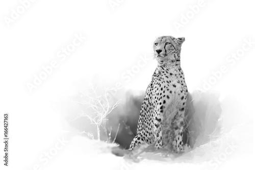 gepard-acinonyx-jubatus-odizolowywajacy-na-bialym-tle