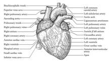 Anatomical Human Heart Hand Dr...
