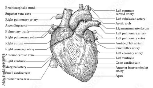Hand Veins Names - Wiring Diagrams •
