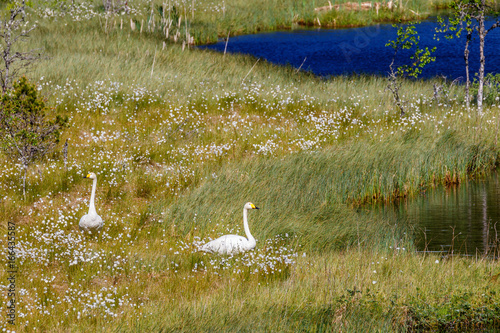 Valokuva  Whooper swans on the bog at a lake
