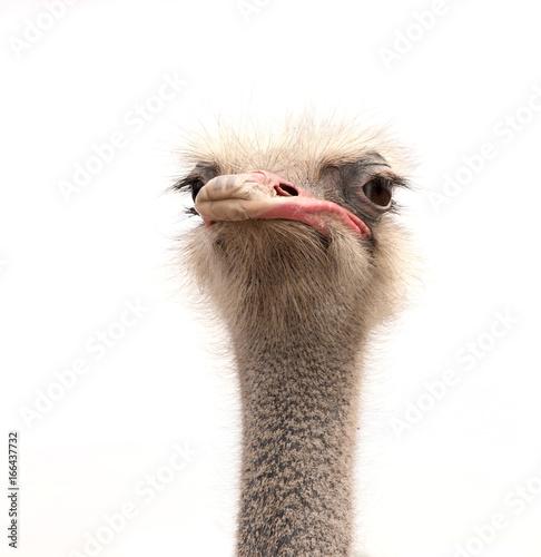 Fotobehang Struisvogel ostrich isolated on white