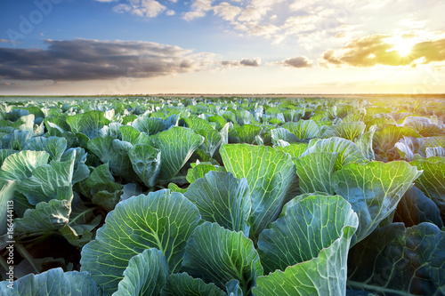 Leinwand Poster Field of ripe cabbage under a sunny sky