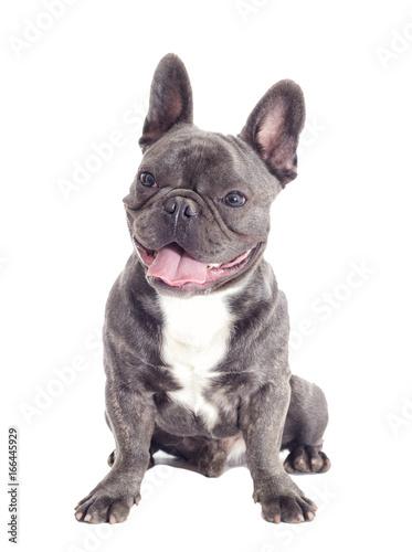 Tuinposter Franse bulldog French Bulldog dog full-length isolated