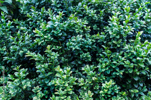 Fototapety, obrazy: Texture with lavish green shiny foliage. Top view of decorative garden plants. Good for background.