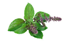 Leaves And Flower Of Ocimum Sanctum, Holy Basil, Or Tulasi Or Tulsi  On White Background.