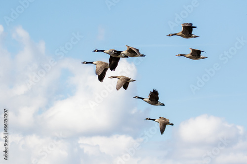 Valokuvatapetti Group or gaggle of Canada Geese (Branta canadensis) flying, in flight against fl
