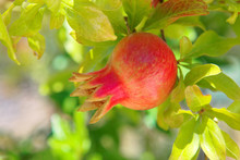Close Up Shot Of Pomegranate R...
