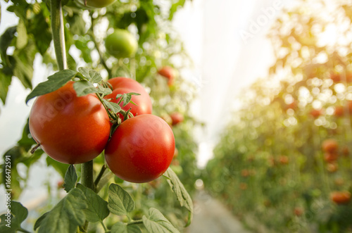 Beautiful tomatoes plant on branch  in green house in foreground, shallow dept of field, copy space , organic tomatoes