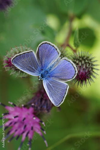 Fotografie, Obraz  Macro view from above of the Polyommatus icarus butterfly with open flowers in t