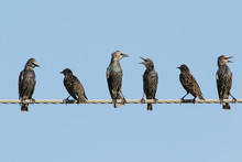 Group Of Common Starlings On T...