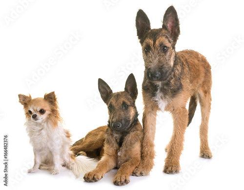puppies belgian shepherd laekenois and chihuahua © cynoclub