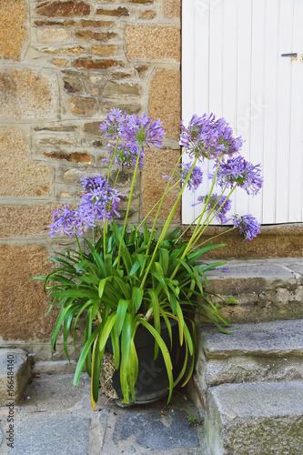 fleur agapanthe d'Afrique (agapanthus africanus) en pot dans cour extérieure mai Canvas Print